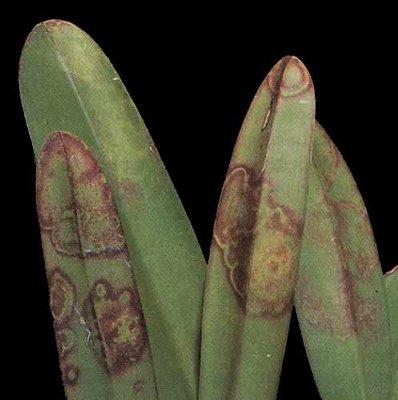 effet du virus de la mosaïque du tabac sur feuilles d'orchidée.